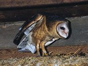 Barn Owl - NEBRASKAland Magazine/Nebraska Game and Parks Commission