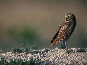 Burrowing Owl - NEBRASKAland Magazine/Nebraska Game and Parks Commission