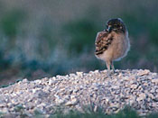 juvenile Burrowing Owls - NEBRASKAland Magazine/Nebraska Game and Parks Commission