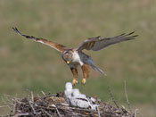 Ferruginous Hawk at nest - NEBRASKAland Magazine/Nebraska Game and Parks Commission