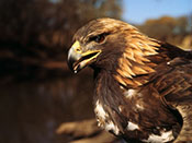Golden Eagle - NEBRASKAland Magazine/Nebraska Game and Parks Commission