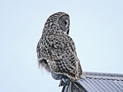 Great Gray Owl - photo by Phil Swanson