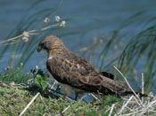 Northern Harrier - NEBRASKAland Magazine/Nebraska Game and Parks Commission