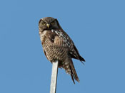 Northern Hawk Owl - photo by Phil Swanson