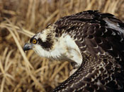 Osprey - NEBRASKAland Magazine/Nebraska Game and Parks Commission