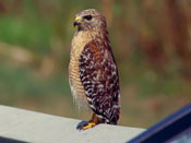 Red-shouldered Hawk - photo by Phil Swanson