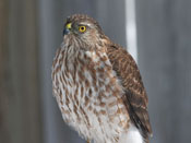 juvenile Sharp-shinned Hawk - photo by Phil Swanson
