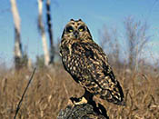 Short-eared Owl - NEBRASKAland Magazine/Nebraska Game and Parks Commission.