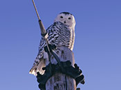 Snowy Owl - photo by Phil Swanson