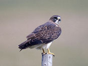 Swainson's Hawk - NEBRASKAland Magazine/Nebraska Game and Parks Commission