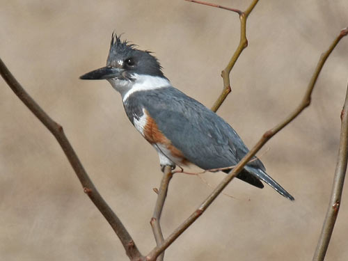 female Belted Kingfisher - photo by Phil Swanson