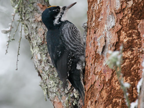 Black-backed Woodpecker - photo by Phil Swanson