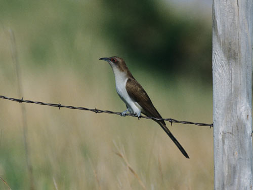 adult Black-billed Cuckoo - NEBRASKAland Magazine/Nebraska Game and Parks Commission