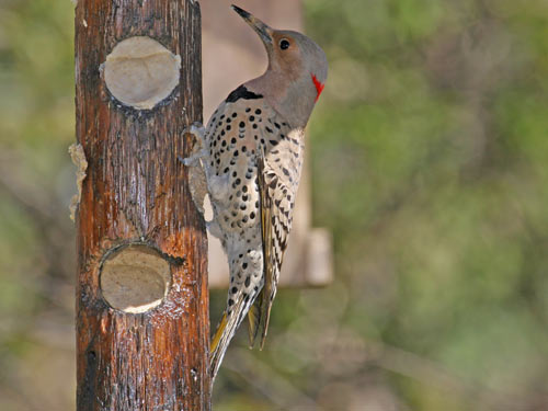 Northern Flicker - photo by Phil Swanson