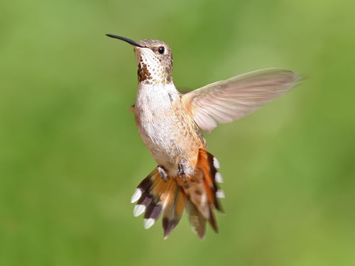 juvenile maile Rufous Hummingbird - photo by Phil Swanson