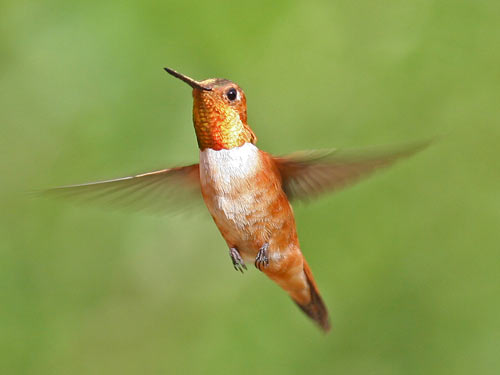 Ruby-throated Hummingbird - photo by Phil Swanson