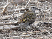 female American Golden-Plover - photo by Phil Swanson