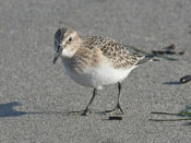 Baird's Sandpiper - photo by Phil Swanson