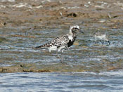 female Black-bellied Plover - photo by Phil Swanson