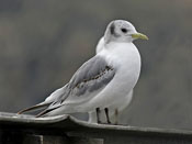 juvenile Black-legged Kittiwake - photo by Phil Swanson