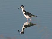 juvenile Black-necked Stilt - photo by Phil Swanson
