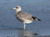 juvenile California Gull - photo by Phil Swanson