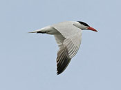 Caspian Tern - photo by Phil Swanson