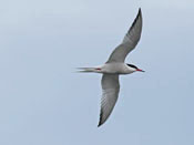 Common Tern - photo by Phil Swanson
