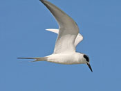 Forster's Tern - photo by Phil Swanson