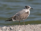 juvenile Franklin's Gull - photo by Phil Swanson