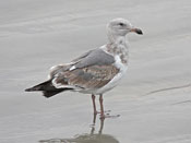 juvenile Glaucous-winged Gull - photo by Phil Swanson