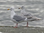 Glaucous-winged Gull - photo by Phil Swanson