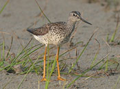 Greater Yellowlegs - photo by Phil Swanson