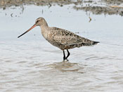 female Hudsonian Godwit - photo by Phil Swanson