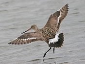 Hudsonian Godwit - photo by Phil Swanson