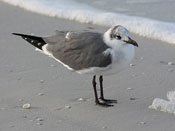 winter Laughing Gull - photo by Phil Swanson