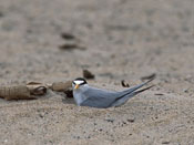 Least Tern - NEBRASKAland Magazine/Nebraska Game and Parks Commission