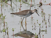 Lesser Yellowlegs - photo by Phil Swanson