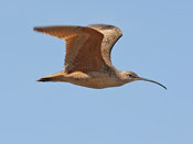 Long-billed Curlew - photo by Phil Swanson