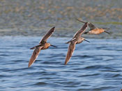 Long-billed Dowitcher - photo by Phil Swanson