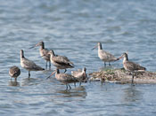 Marbled Godwit - NEBRASKAland Magazine/Nebraska Game and Parks Commission