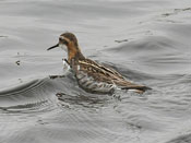 female Red-necked Phalarope - photo by Phil Swanson
