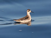 winter Red-necked Phalarope - photo by Phil Swanson