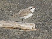 Snowy Plover - photo by Phil Swanson