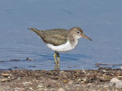 juvenile Spotted Sandpiper - photo by Phil Swanson