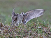 Whimbrel - photo by Phil Swanson