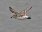 White-rumped Sandpiper - photo by Phil Swanson