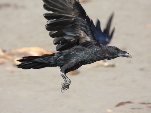 Common Raven | Nebraska Bird Library