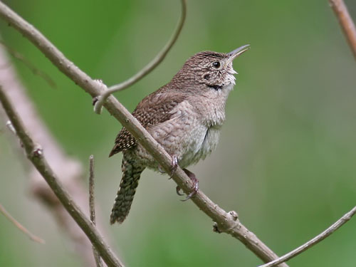 House Wren   Photo By Phil Swanson ...