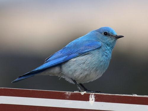 mountain bluebird nebraska bird library